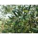 Confezione da 12 bottiglie Olio extravergine di oliva da 0,50 Litri