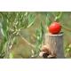 """Packung von Tomatensauce aus """"Fiaschetto"""" Tomaten in 14 Gläsern"""