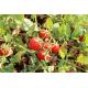 Confezione da 12 vasetti di passata di pomodoro fiaschetto