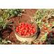 Pomodoro Fiaschetto di Torre Guaceto in salsa confezione da 12 vasetti