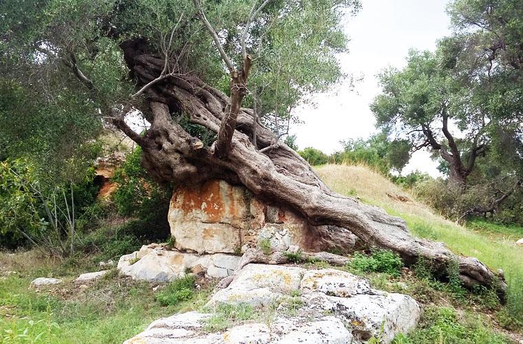 immagine olio extravergine di oliva Pietrasanta