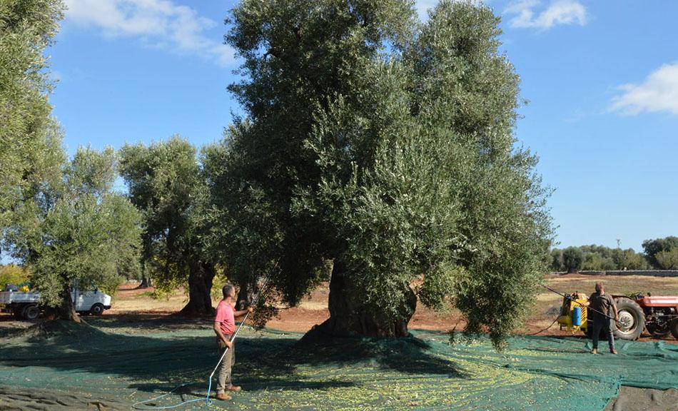 Campagna olearia 2019/2020: eccellente produzione dell' Olio Evo dell'azienda agricola Pietrasanta